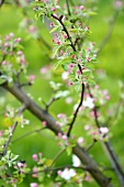 Branches of apple blossom