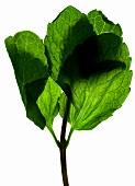 A mint leaf