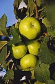 Blenheim apples on the tree