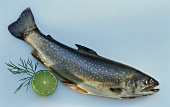 Fresh brook trout