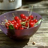 Sour cherries with leaves in purple bowl
