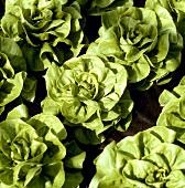 Fresh lettuces in the field