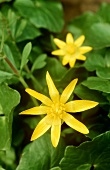 Lesser celandine with flowers