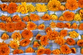 Marigolds, laid out to dry