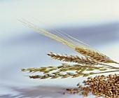 Verschiedene Getreidesorten und Ähren