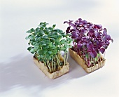 Young shiso cress in boxes
