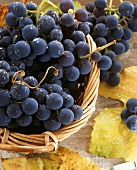 Black grapes with drops of water in basket