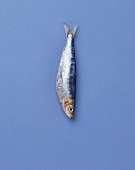 Sardine on blue background