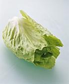 Grüner Zuckerhutsalat, Spitze abgeschnitten
