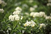 Flowering potato plants in the field