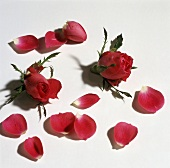 Two rose buds and rose petals