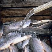 Water running over freshly caught salmon