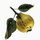 A pear-shaped quince with leaves