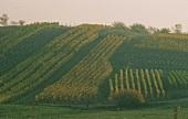 Autumn vineyard, Alsace, France