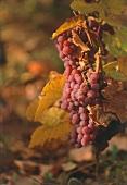 Grape vine between autumn leaves, Alsace, France