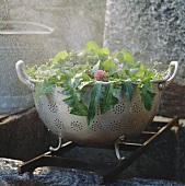 Verschiedene Kräuter und Blätter in Fussseiher
