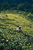 Female workers on a tea plantation (Sri Lanka)