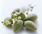 Fresh almonds and almond blossom