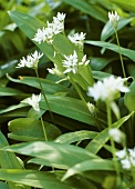 Ramsons (wild garlic) with flowers (close-up)