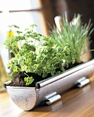 Various herbs in a metal container on window sill