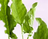 Fresh sorrel leaves (Rumex acetosa)