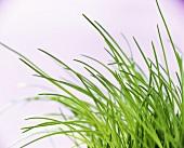 Schnittlauch (lat. Allium schoenoprasum)