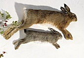 Hare and wild rabbit with skin