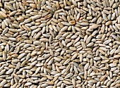 Grains of rye (filling the picture)