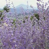 Lavender flowers in open air