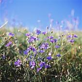 Kornblumen im Freien