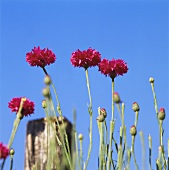Pink cornflowers against blue sky