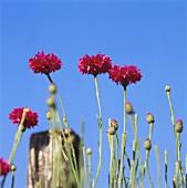 Rote Kornblumen vor blauem Himmel
