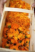 Hands holding woodchip basket of marigolds