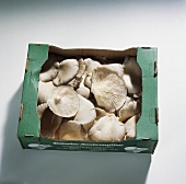Austernpilze (Pleurotus ostreatus) im Karton