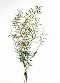 Mustard plant (Sinapis alba)