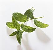 Grüne Minze (Mentha spicata)