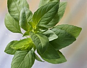 Lemon basil (Ocimum citriodorum)