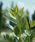Bay leaves (Laurus nobilis) on the bush