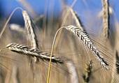 Roggen (Secale cereale), Ähren auf dem Feld