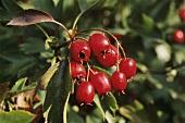 Haws (hawthorn fruit) on a branch