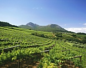 Vineyards near Paarl, S. Africa