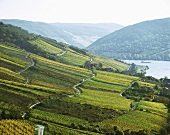 Vineyards near Lorch, Rheingau, Germany