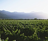 Vineyards in Rapel Valley, Peralillo, Chile