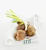 Zwiebeln (ausgetrieben) auf Geschirrtuch