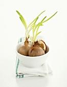 Zwiebeln (ausgetrieben) in Schale auf Geschirrtuch