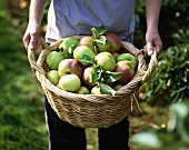 Person holding a basket of freshly-picked apples
