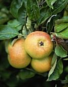 Three apples, Cox's Orange Pippins, on the tree