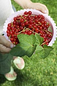 Person holding redcurrants in plastic basket
