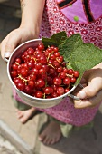 Child holding a pot of redcurrants