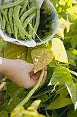 Hand picking green beans
